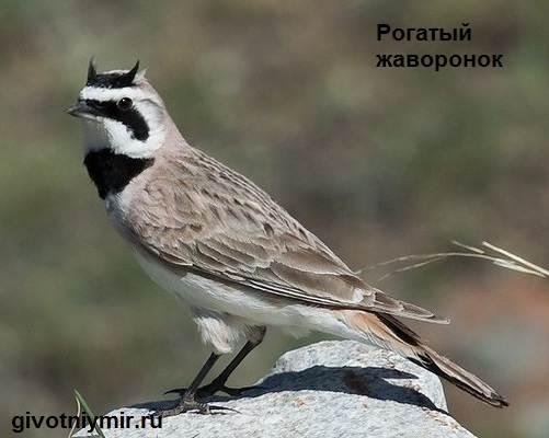 Жаворонок-птица-Образ-жизни-и-среда-обитания-жаворонка-2