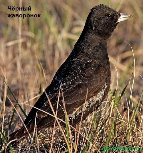 Жаворонок-птица-Образ-жизни-и-среда-обитания-жаворонка-3