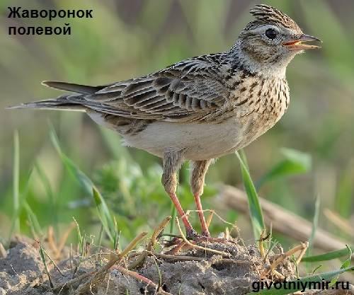 Жаворонок-птица-Образ-жизни-и-среда-обитания-жаворонка-4