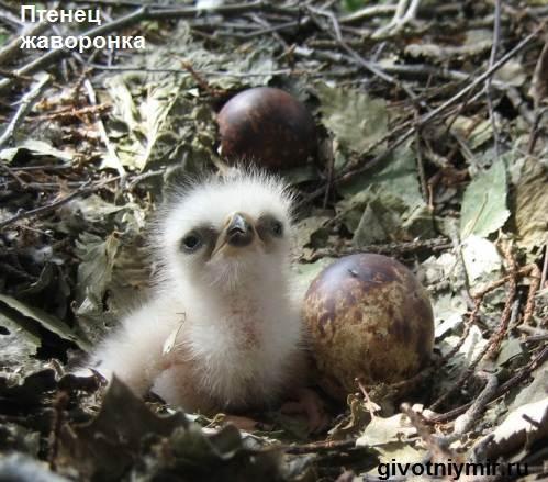 Жаворонок-птица-Образ-жизни-и-среда-обитания-жаворонка-5