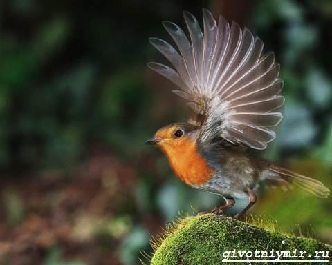Зарянка-птица-Образ-жизни-и-среда-обитания-птицы-зарянки-2