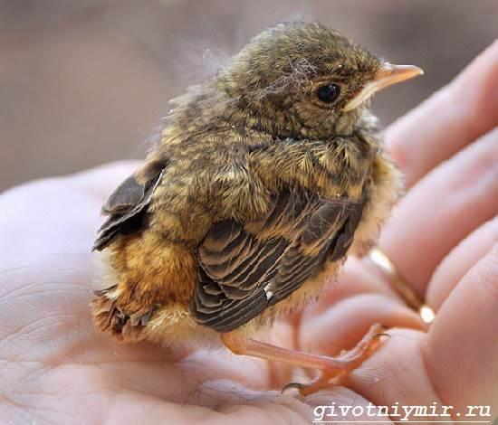 Зарянка-птица-Образ-жизни-и-среда-обитания-птицы-зарянки-3