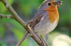 Зарянка птица. Образ жизни и среда обитания птицы зарянки