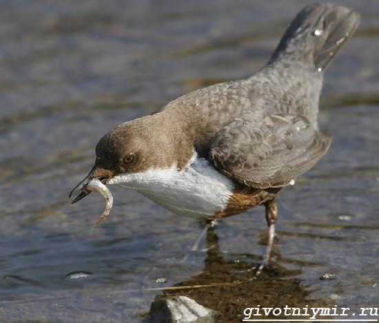 Оляпка-птица-Среда-обитания-и-образ-жизни-оляпки-2