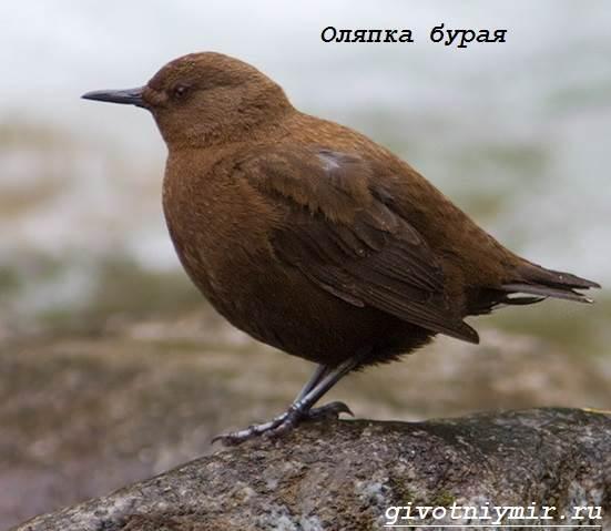 Оляпка-птица-Среда-обитания-и-образ-жизни-оляпки-3