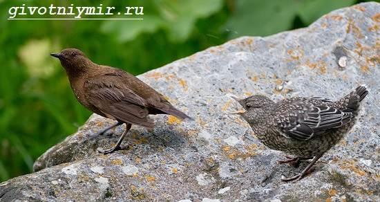 Оляпка-птица-Среда-обитания-и-образ-жизни-оляпки-5