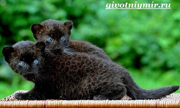 Черная-пантера-Образ-жизни-и-среда-обитания-черной-пантеры-10