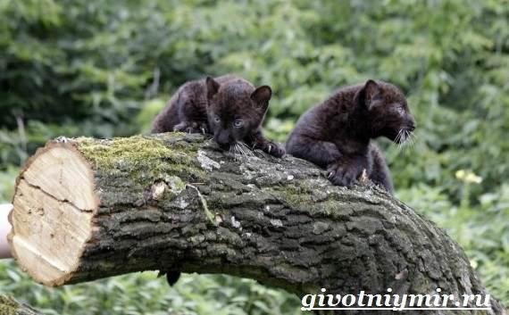 Черная-пантера-Образ-жизни-и-среда-обитания-черной-пантеры-11