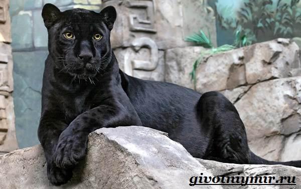 красивые фото чёрной пантеры