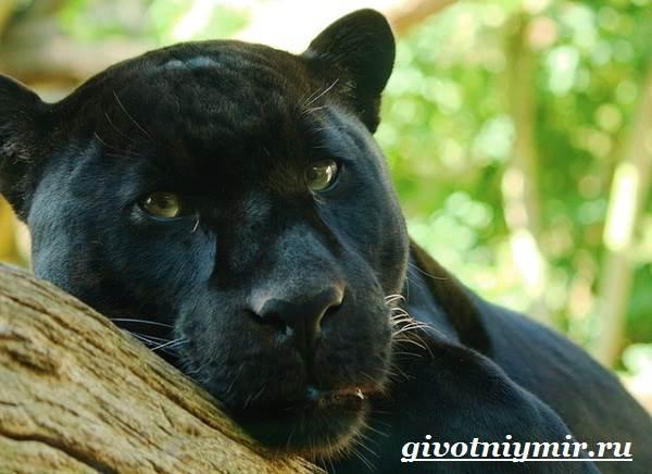 пантера скачать торрент - фото 11