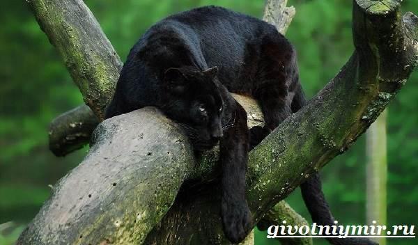 Черная-пантера-Образ-жизни-и-среда-обитания-черной-пантеры-4