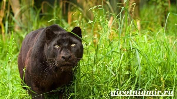 Черная-пантера-Образ-жизни-и-среда-обитания-черной-пантеры-6