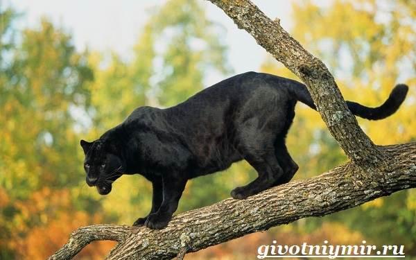 Черная-пантера-Образ-жизни-и-среда-обитания-черной-пантеры-7