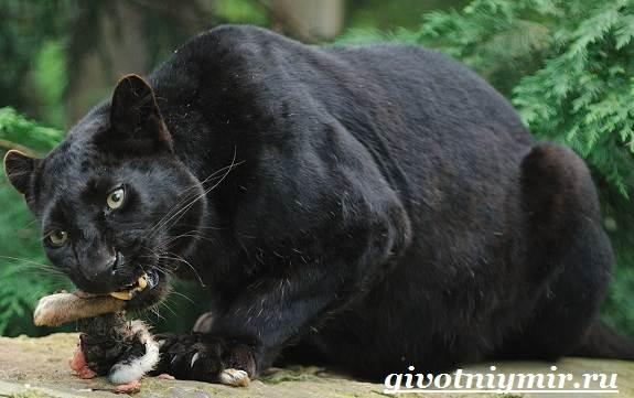 Черная-пантера-Образ-жизни-и-среда-обитания-черной-пантеры-9
