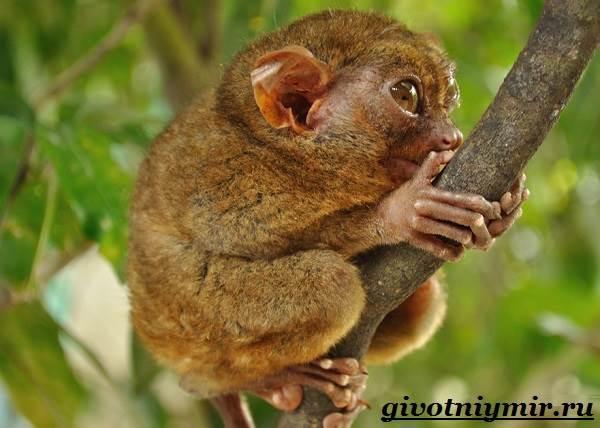 Долгопят-Среда-обитания-и-образ-жизни-животного-долгопят-2