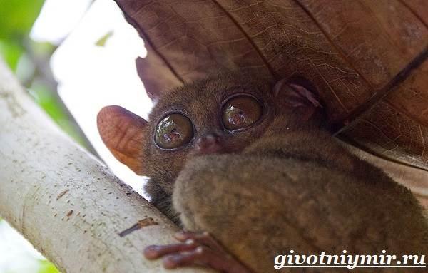 Долгопят-Среда-обитания-и-образ-жизни-животного-долгопят-4