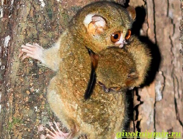 Долгопят-Среда-обитания-и-образ-жизни-животного-долгопят-7