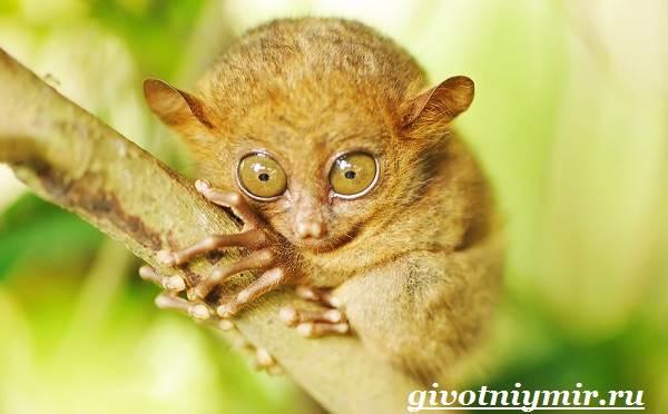 Долгопят-Среда-обитания-и-образ-жизни-животного-долгопят-8