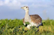 Дрофа птица. Среда обитания и образ жизни дрофы