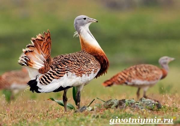 Дрофа-птица-Среда-обитания-и-образ-жизни-дрофы-8