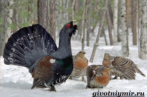 Глухарь-птица-Образ-жизни-и-среда-обитания-глухаря-6