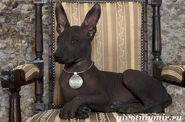 Ксолоитцкуинтли-собака-Особенности-породы-Уход-за-Ксолоитцкуинтли-1