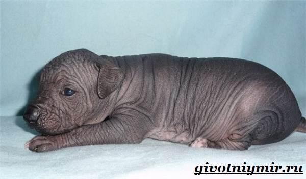 Ксолоитцкуинтли-собака-Особенности-породы-Уход-за-Ксолоитцкуинтли-10