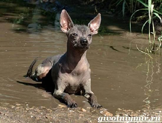 Ксолоитцкуинтли-собака-Особенности-породы-Уход-за-Ксолоитцкуинтли-3