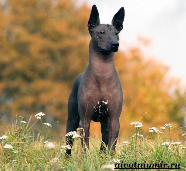 Ксолоитцкуинтли-собака-Особенности-породы-Уход-за-Ксолоитцкуинтли-4
