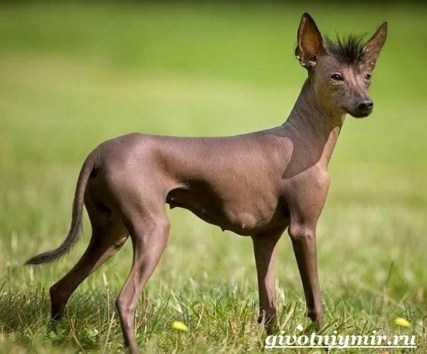 Ксолоитцкуинтли-собака-Особенности-породы-Уход-за-Ксолоитцкуинтли-5