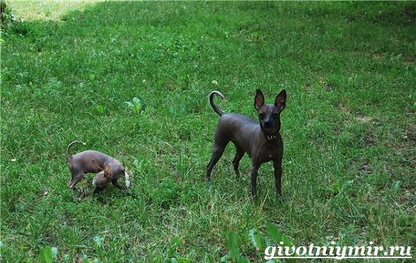 Ксолоитцкуинтли-собака-Особенности-породы-Уход-за-Ксолоитцкуинтли-8