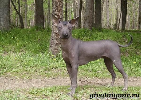 Ксолоитцкуинтли-собака-Особенности-породы-Уход-за-Ксолоитцкуинтли-9