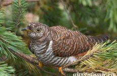 Кукушка птица. Образ жизни и среда обитания кукушки