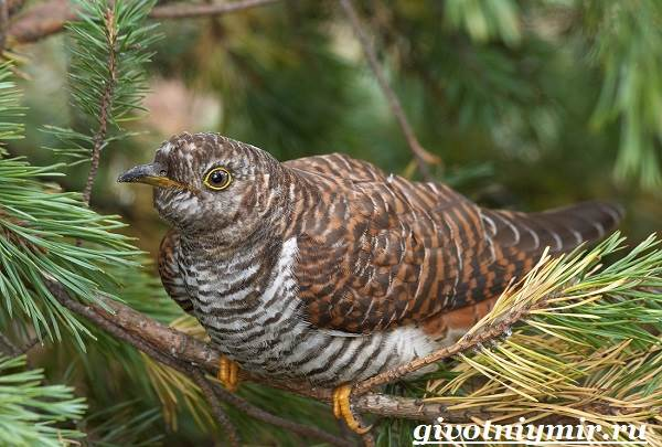 Кукушка-птица-Образ-жизни-и-среда-обитания-кукушки-1