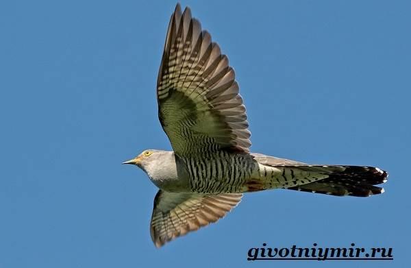 Кукушка-птица-Образ-жизни-и-среда-обитания-кукушки-11