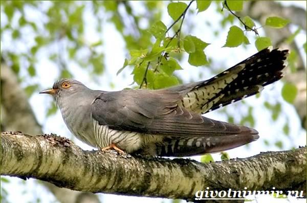 Кукушка-птица-Образ-жизни-и-среда-обитания-кукушки-2