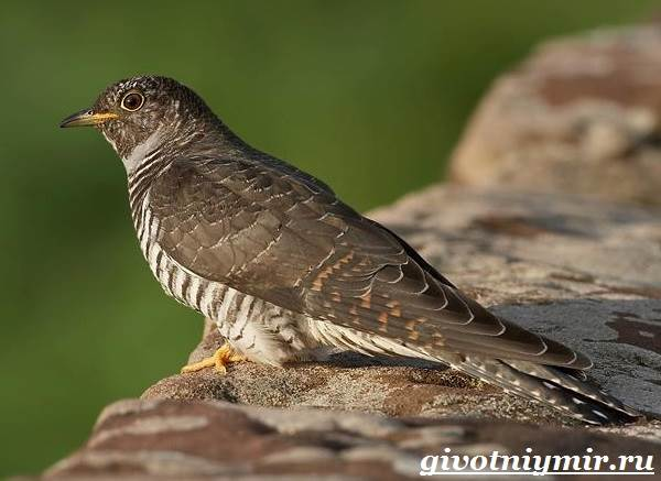 кукушка фото птица