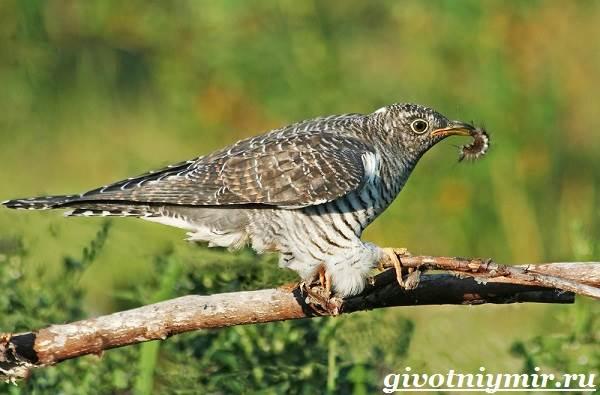 Кукушка-птица-Образ-жизни-и-среда-обитания-кукушки-4