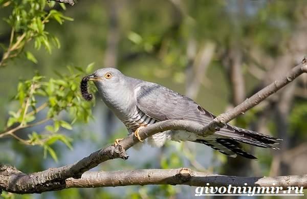 Кукушка-птица-Образ-жизни-и-среда-обитания-кукушки-5