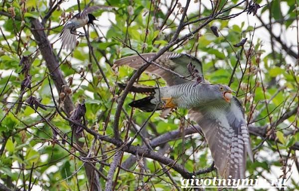 Кукушка-птица-Образ-жизни-и-среда-обитания-кукушки-7