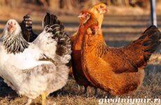 Куры несушки. Образ жизни и особенности содержания кур несушек