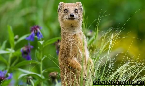 Мангуст-животное-Образ-жизни-и-среда-обитания-мангуста-1
