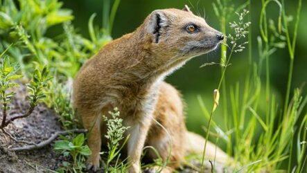 Мангуст животное. Образ жизни и среда обитания мангуста