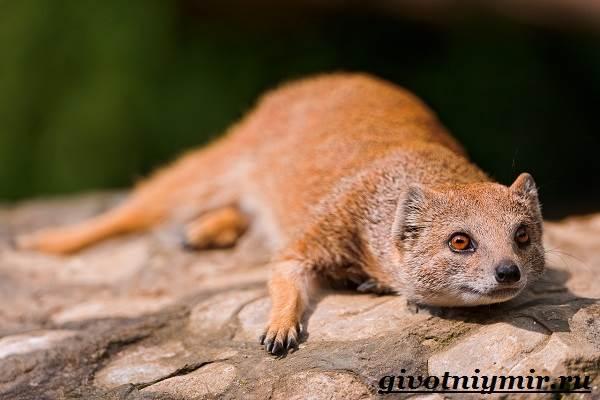 Мангуст-животное-Образ-жизни-и-среда-обитания-мангуста-5