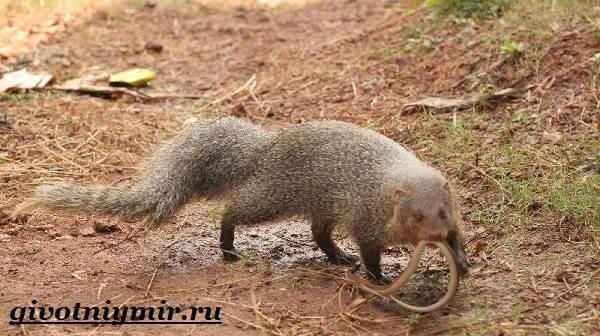 Мангуст-животное-Образ-жизни-и-среда-обитания-мангуста-6