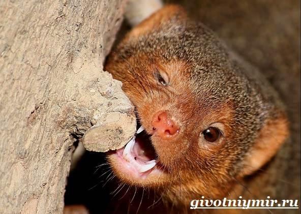 Мангуст-животное-Образ-жизни-и-среда-обитания-мангуста-7