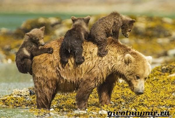 Медведь-гризли-Среда-обитания-и-образ-жизни-медведя-гризли-11