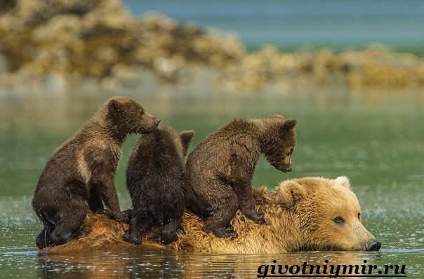 Медведь-гризли-Среда-обитания-и-образ-жизни-медведя-гризли-12