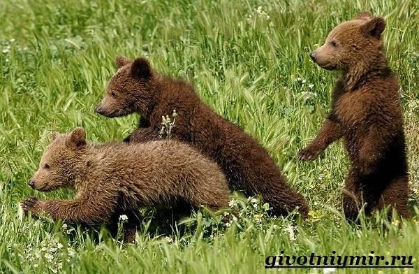 Медведь-гризли-Среда-обитания-и-образ-жизни-медведя-гризли-13