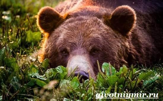 Медведь-гризли-Среда-обитания-и-образ-жизни-медведя-гризли-14